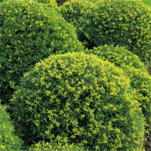 Topiary Ball - Ilex crenata Green Glory - Box leaved Japanese Holly