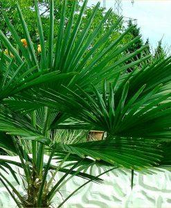 Trachycarpus fortunei - Hardy Chusan Windmill Fan Palm - 60-70cms