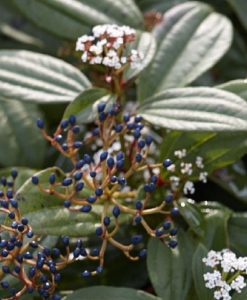 Viburnum davidii - Evergreen Viburnum