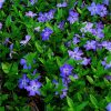 Vinca minor - Pack of THREE - Blue Flowered Evergreen Ground Covering Lesser Periwinkle Plants