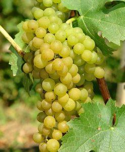 Vitis Vroege Van Der Laan - White Grape