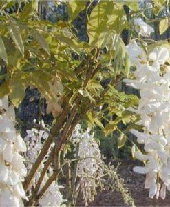 Wisteria Alba - White