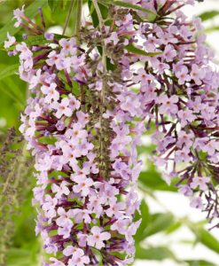 Wisteria Lane Butterfly Bush - Masses of Flowers - Large Specimen Buddleia Plant