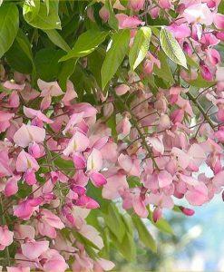 Wisteria brachybotrys Shiro beni - Pink Ice Japanese Wisteria - Large Specimen Plant 6ft+