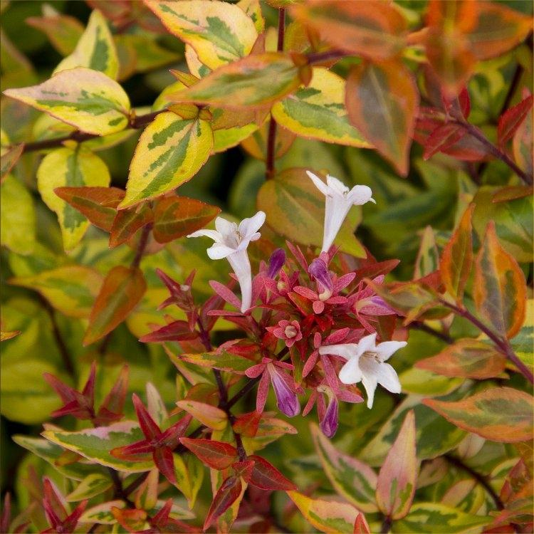 Abelia Kaleidoscope - Multicoloured Evergreen Abelia Gardening Express