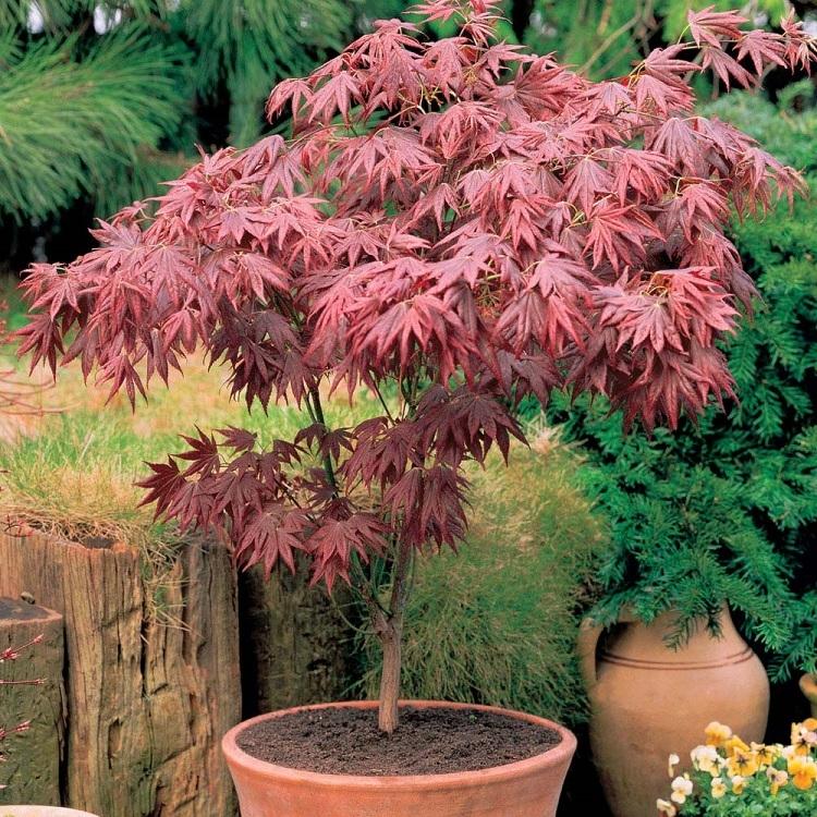 Acer palmatum atropurpureum - Purple Japanese Maple Gardening Express