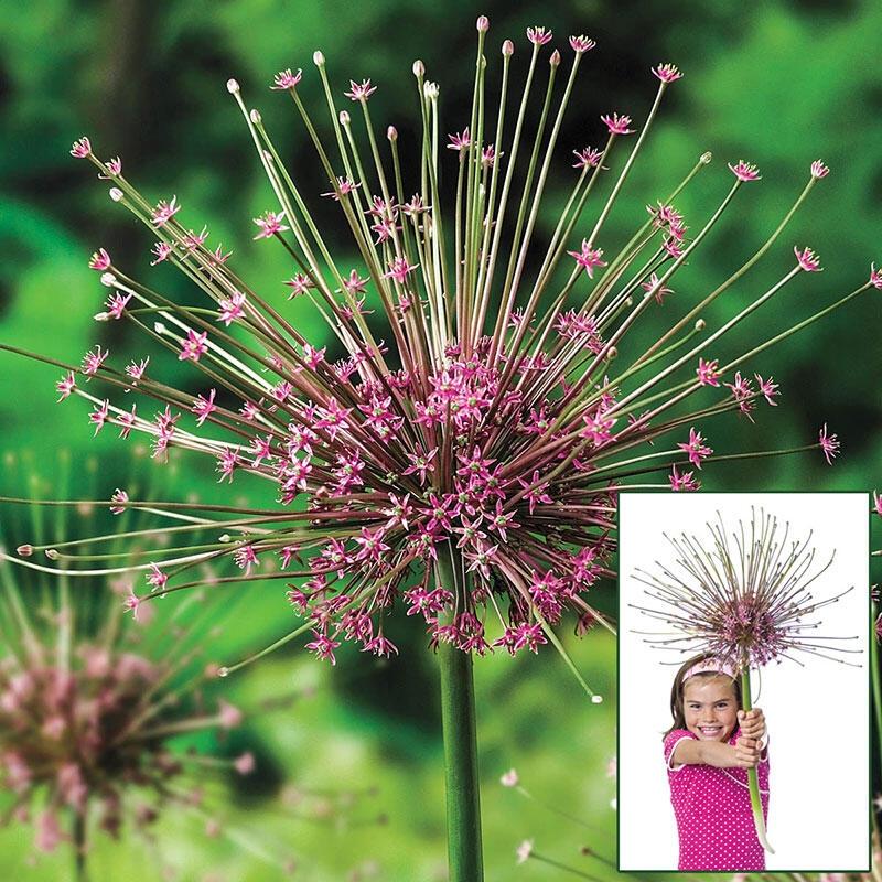 Allium schubertii - Giant Sparkler Firework Allium - Large Bulb Gardening Express