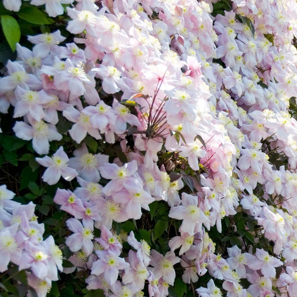 Clematis Montana Mayleen - Pink Flowering Clematis Gardening Express