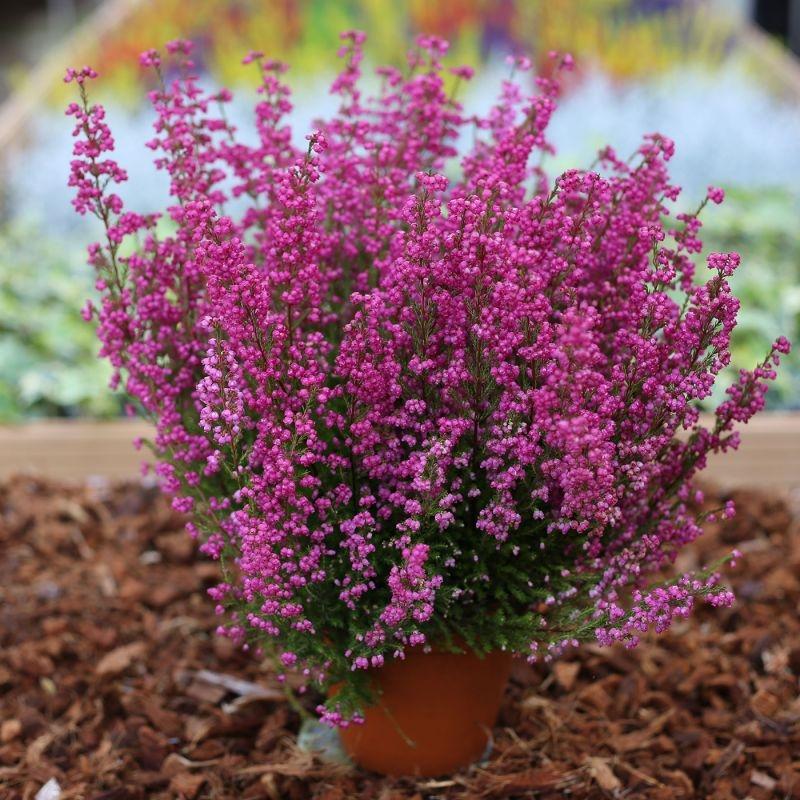 Erica carnea gracilis - Large Hot Pink Heather Plants in Bud Gardening Express