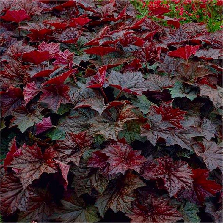 Heuchera Palace Purple - Crimson Coral Bells - Pack of THREE Plants Gardening Express