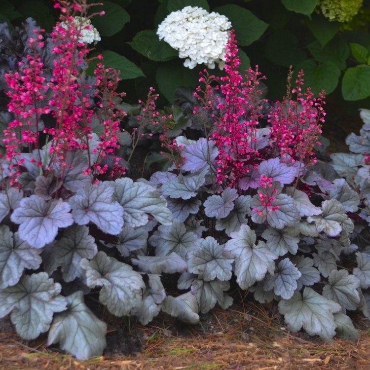 Heuchera Silver Gumdrop Gardening Express
