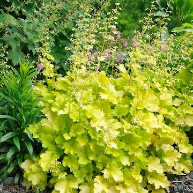 Heuchera Lime Marmalade Gardening Express