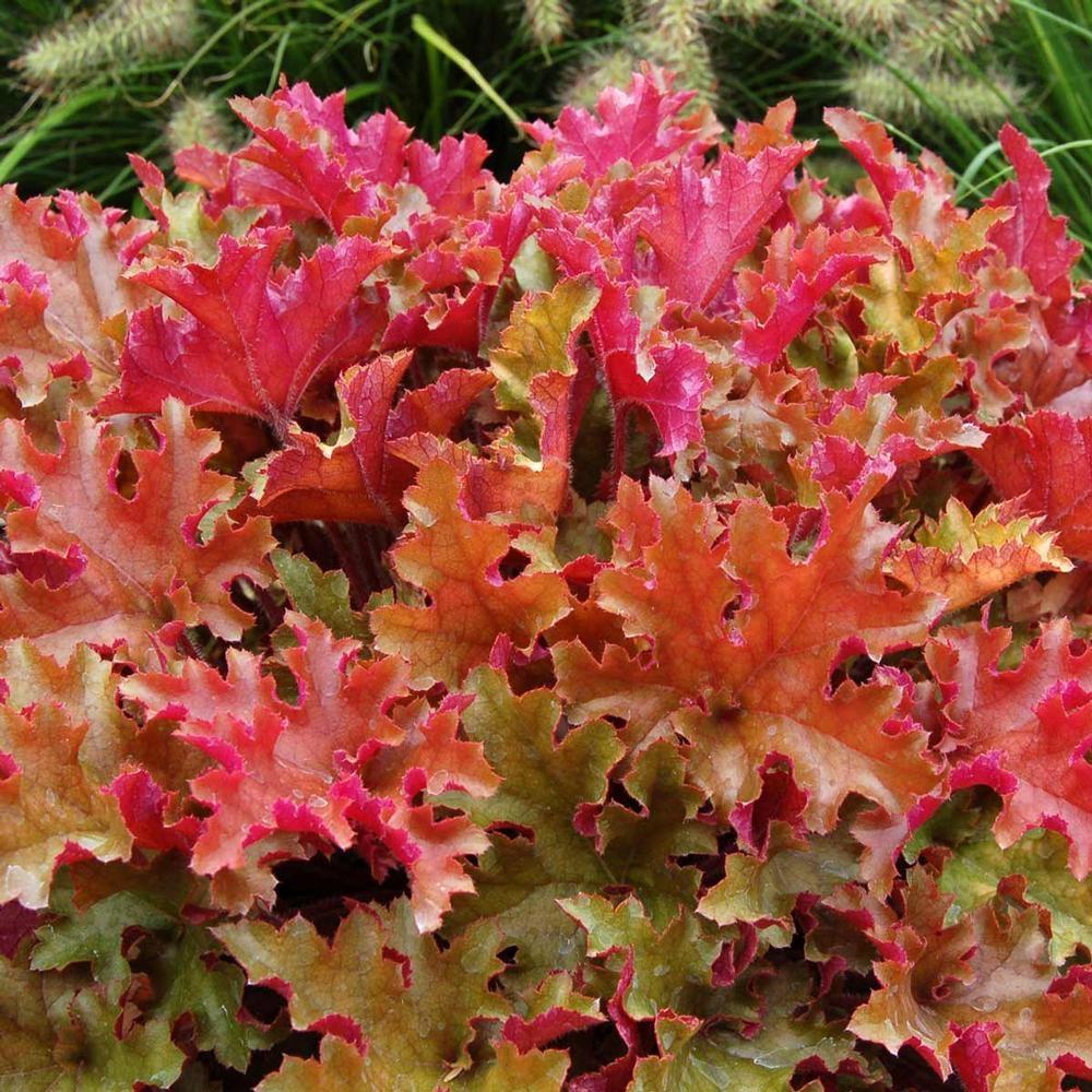 Heuchera Marmalade Gardening Express