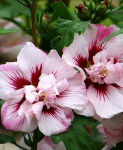 Hibiscus Lady Stanley