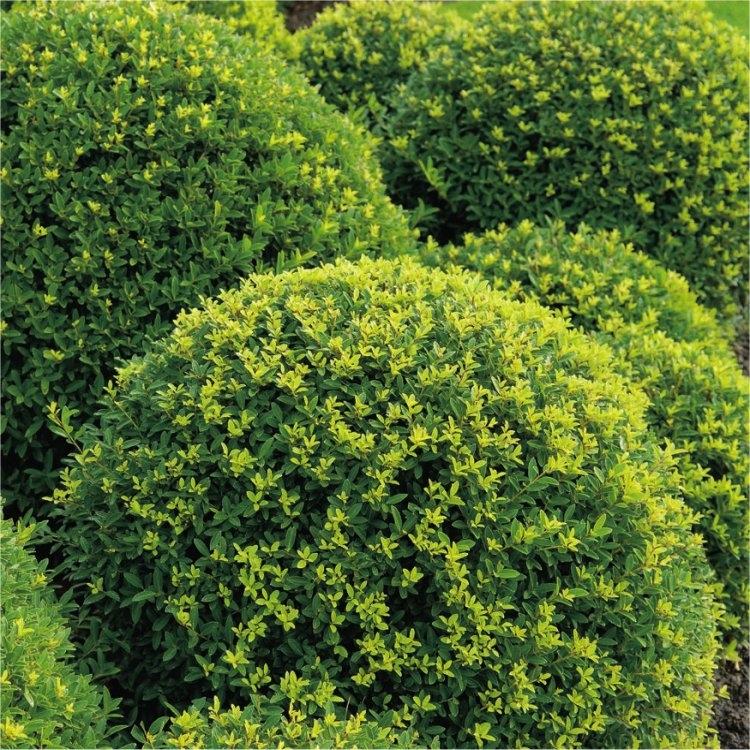 Topiary Ball - Ilex crenata Green Glory - Box leaved Japanese Holly Gardening Express