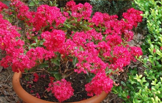 Lagerstroemia indica Berry Dazzle - Crape myrtle Gardening Express