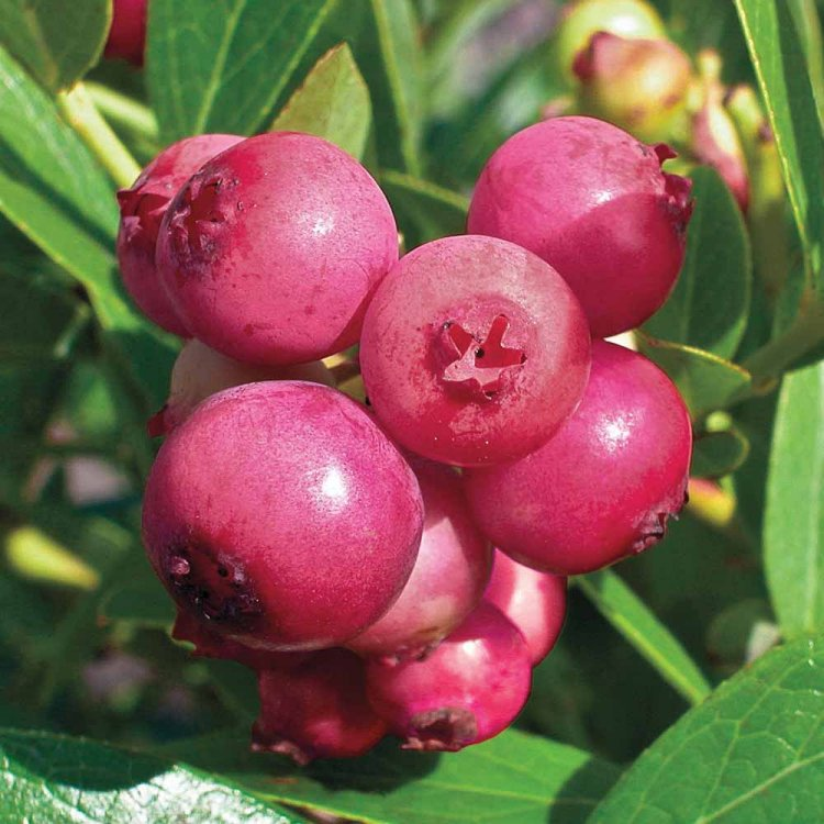 Blueberry Pink Lemonade Plants for the Patio or Garden - Pack of THREE Pink Berry Plants Gardening Express