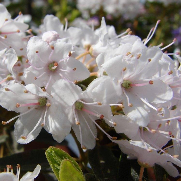 Rhododendron impeditum album - Dwarf White Rhododendron Gardening Express