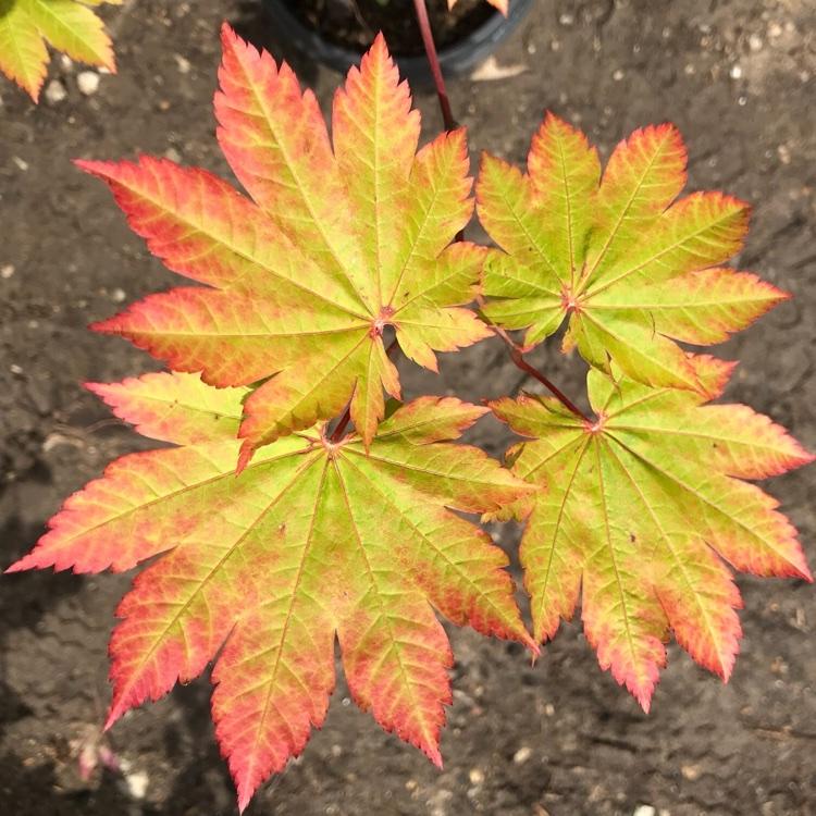 Acer japonicum Vitifolium - Vine leaved Japanese Maple Gardening Express