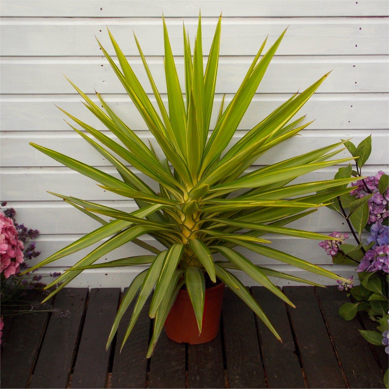 LARGE Patio Adams Needle Yucca Jewel Palm Trees - Approx 65-75cms Gardening Express