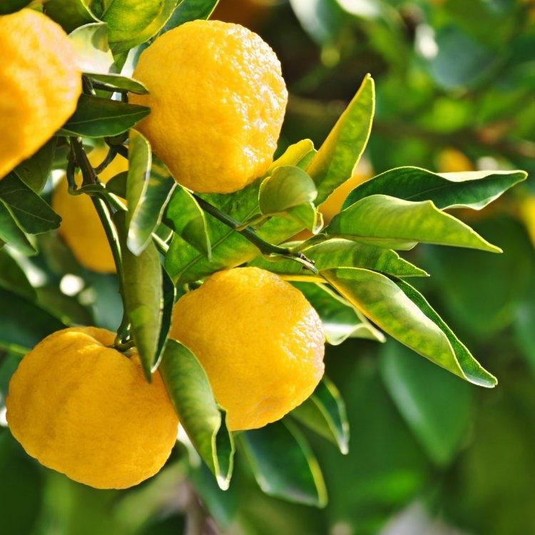 Yuzu Lime - Citrus junos Tree - 60-80cms Gardening Express
