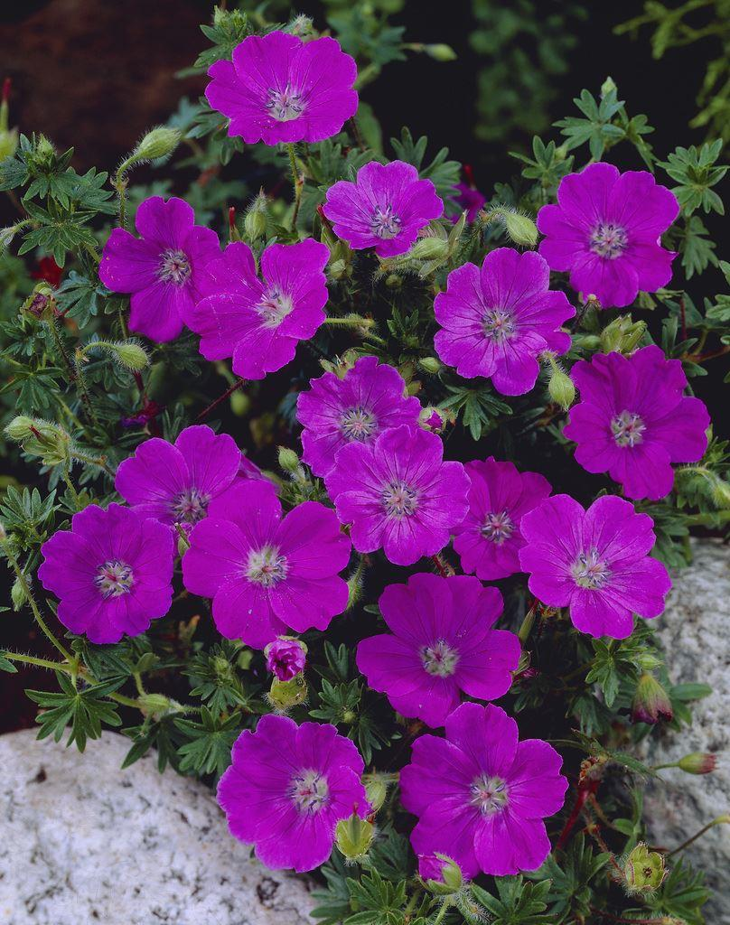Geranium sanguineum Gardening Express