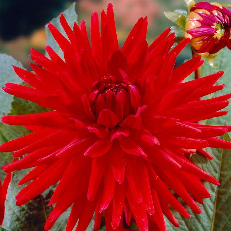 Dahlia Red Pygmy Gardening Express