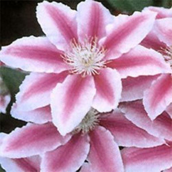 Large 6-7ft Specimen Climber - Clematis Dr Ruppel Gardening Express