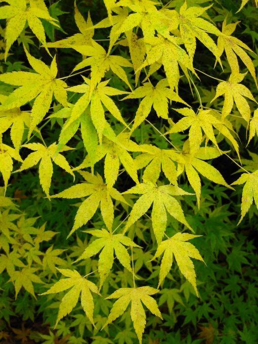 Acer palmatum Aoyagi -  Japanese Maple  - LARGE