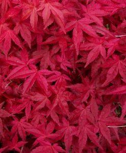 Acer palmatum Deshojo - Large Japanese Maple 80-100cm