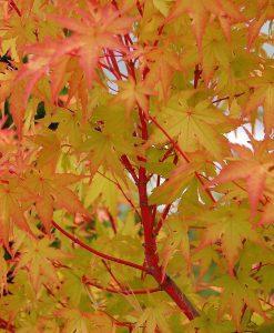 Acer palmatum Sango Kaku - Stunning Year Round Colour