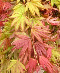 Acer shirasawanum 'Moonrise' - Japanese Maple