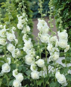 Alcea Chaters Double White - Hollyhock (Althea)