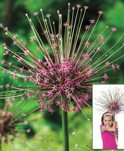 Allium schubertii - Giant Sparkler Firework Allium