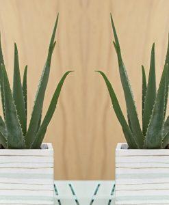 Aloe Vera - Succulent Plant