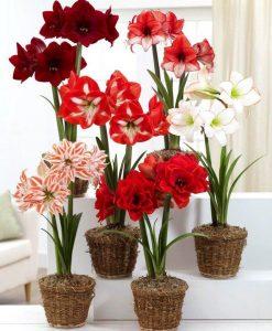 Amaryllis MEGA BAG - Pack of TEN in Assorted varieties - Ideal Home Decor