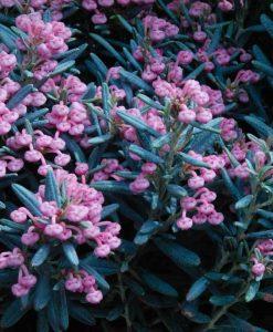 Andromeda polifolia - Blue Ice - Dwarf Evergreen