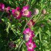 Anemone multifida 'Rubra'