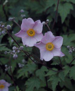 Anemone x hybrida September Charm - Windflower