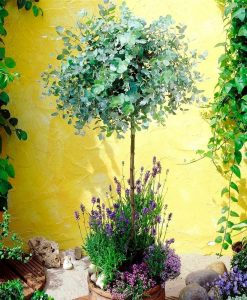 Anti-mosquito Eucalyptus Gum Tree
