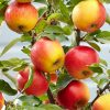 Apple - Malus Domestica Elstar - Patio Pillar Fruit Tree