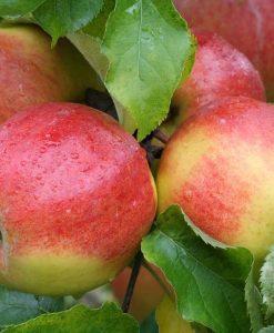 Apple - Malus Domestica Jonagold - Patio Pillar Fruit Tree