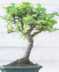 Beautiful Bonsai Tree with Ceramic Dish