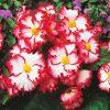 Begonia Crispa Marginata White and Red - Pack of THREE