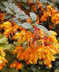 Berberis x lolongenis 'Apricot Queen'