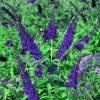 Buddleja davidii Empire Blue - Royal Blue Buddleia Butterfly Bush