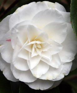 Camellia japonica Miss Lyla