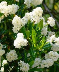 Ceanothus Snow Flurries - Evergreen White Californian Lilac - LARGE