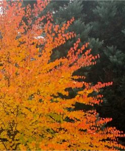 Cercidiphyllum japonicum - Katsura Tree - LARGE