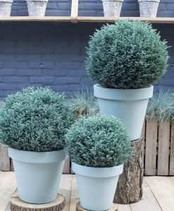 Chamaecyparis pisifera 'Blue Moon'® - Dwarf Slow Growing Conifer